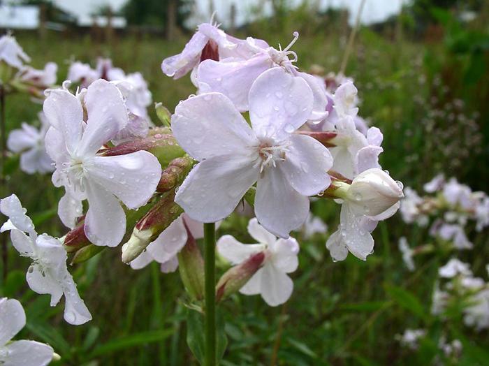 Растение Мыльнянка