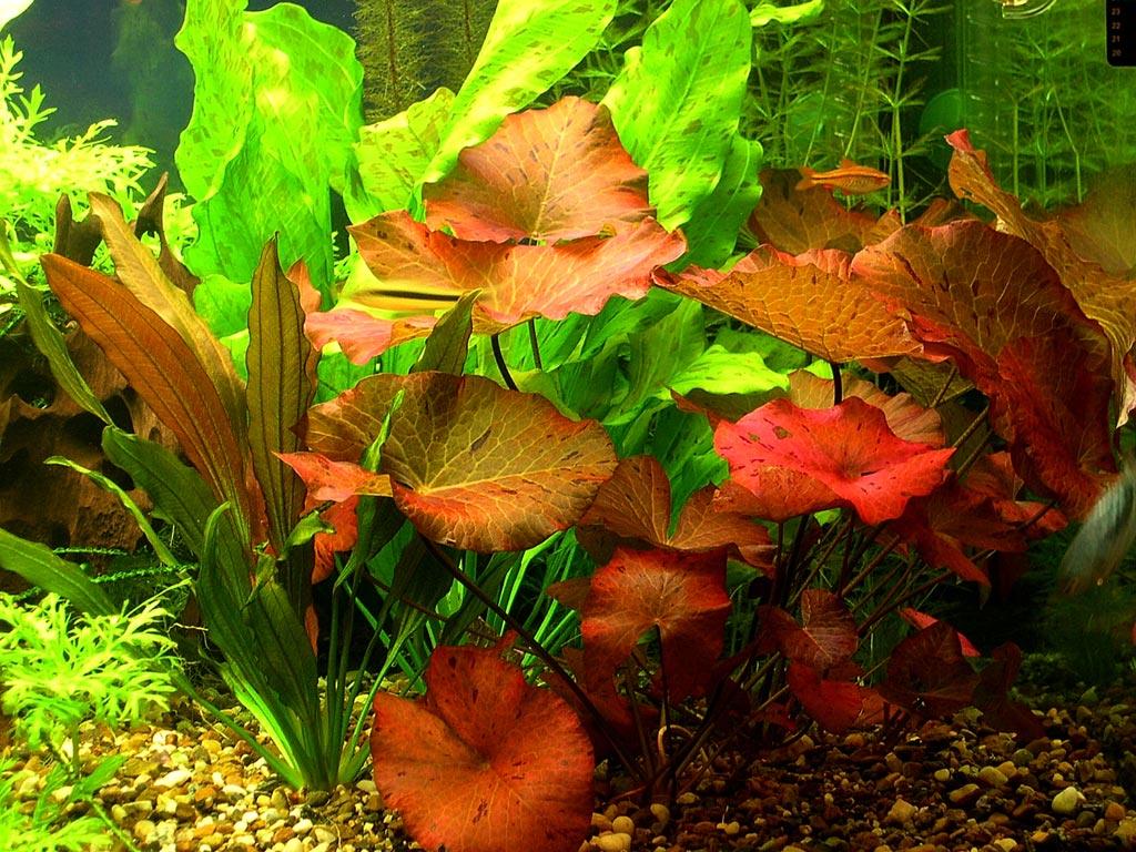 Растение Нимфея