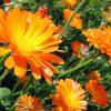 Растение Ноготки фото - 7044 100x100