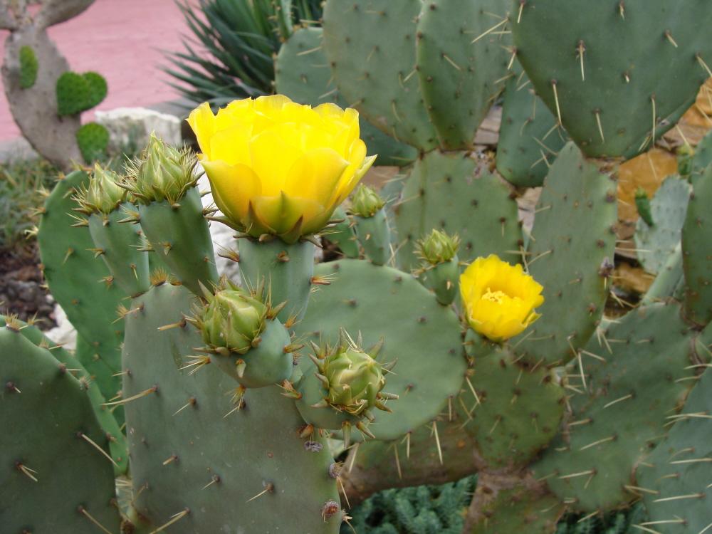 Растение Опунция