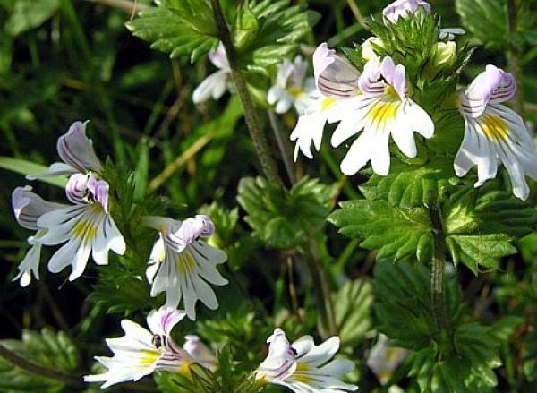 Растение Очанка лекарственная