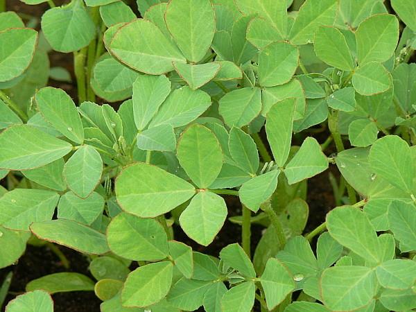 Растение Пажитник сенной