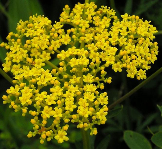 Растение Патриния