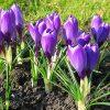 Растение Первоцвет фото - 7115 100x100