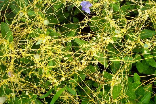 Растение Повилика