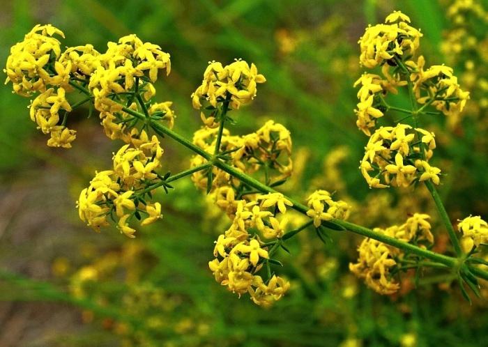Растение Подмаренник