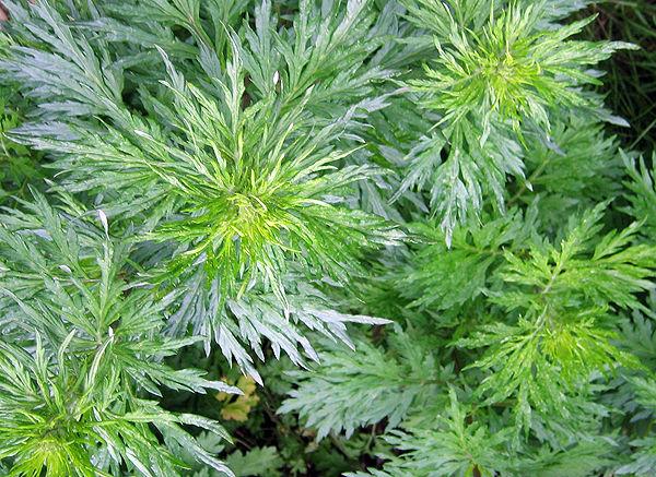 Растение Полынь