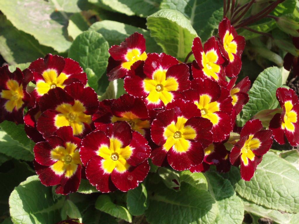 Растение Примула