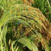 Растение Просо фото - 7156 100x100