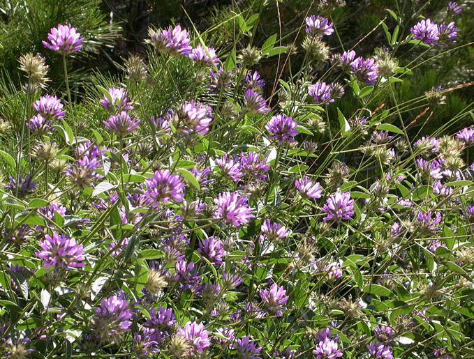 Растение Псоралея