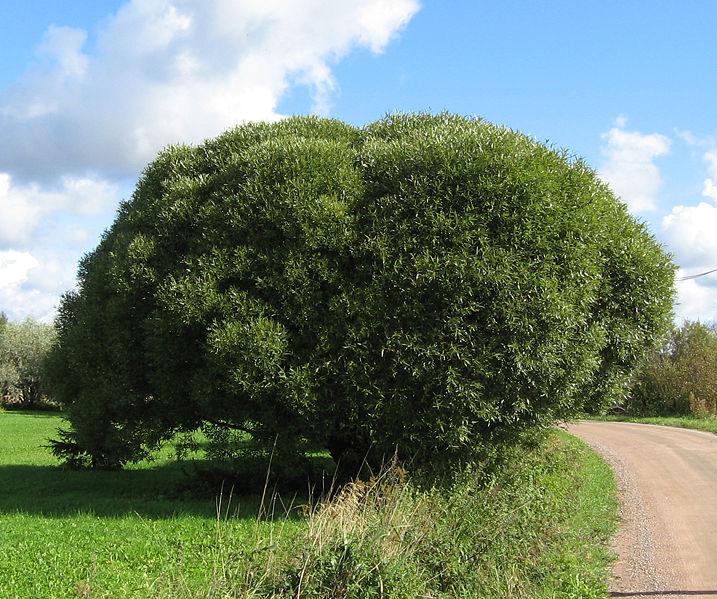Дерево Ракита