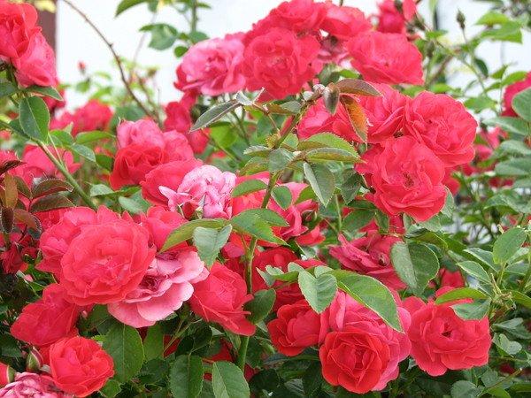 Кустарник Роза крымская