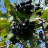 Дерево Рябина черноплодная