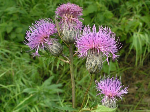 Растение Серпуха