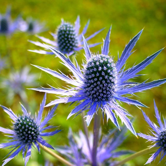 Растение Синеголовник