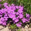 Растение Смолёвка