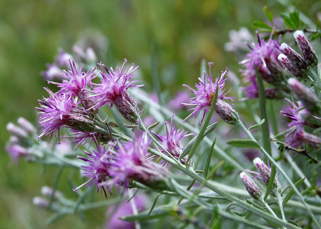 Растение Соссюрея