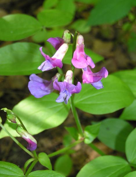 Растение Сочевичник