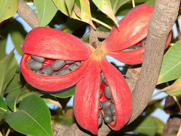 Растение Стеркулия