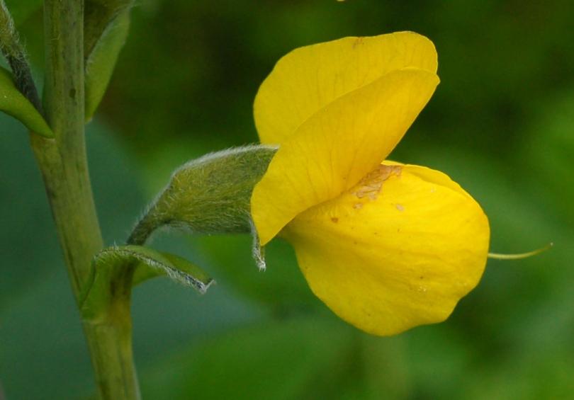 Растение Термопсис