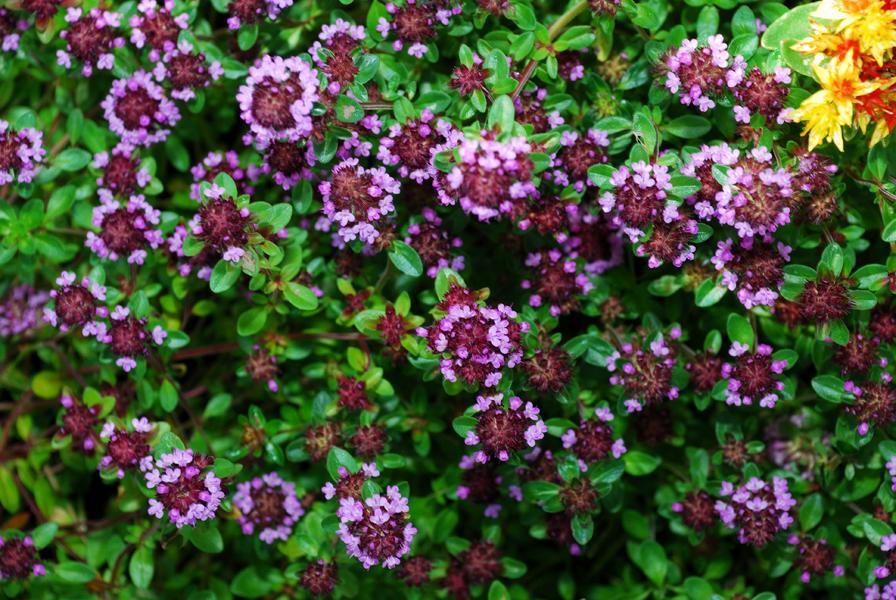 Растение Тимьян