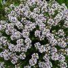Растение Тимьян обыкновенный