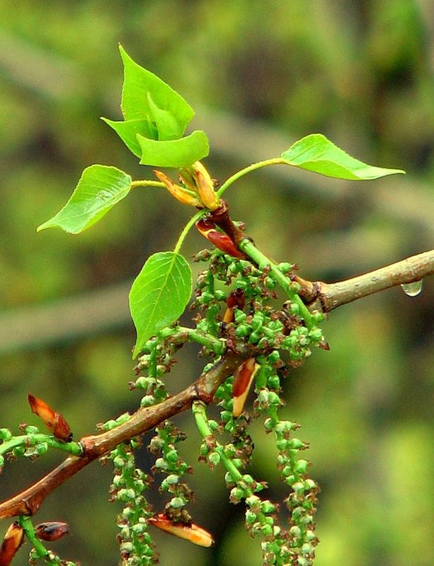 22165 Дерево Тополь чёрный