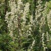 Растение Чернобыльник фото - 7551 100x100