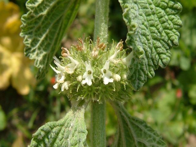 Растение Шандра