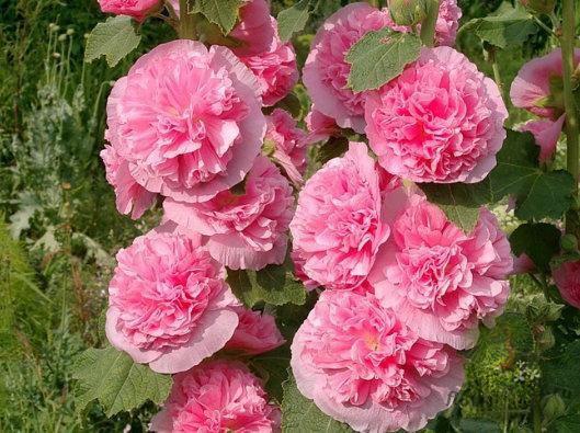 Растение Шток-роза