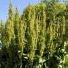 Трава Щавель конский