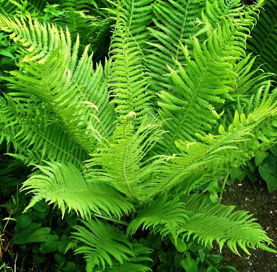 Растение Щитовник
