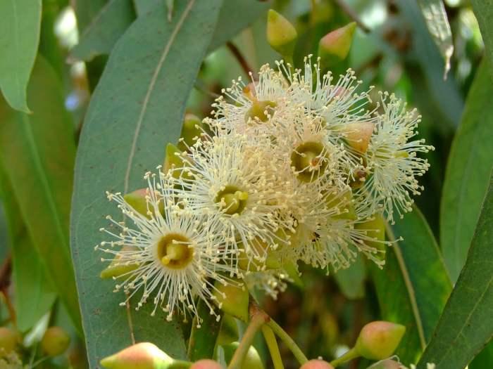 Растение Эвкалипт