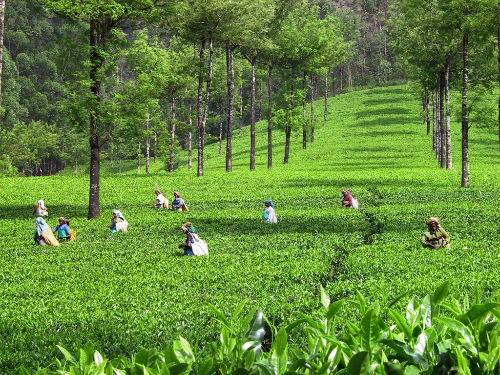 Индийскии плантации