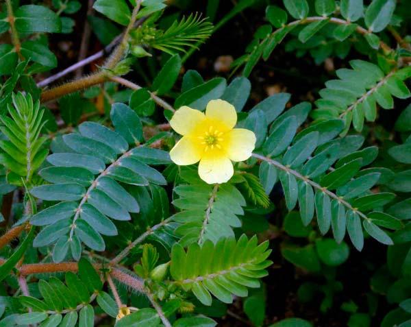 23074 Растение Якорцы стелющиеся