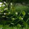 Растение Ярутка