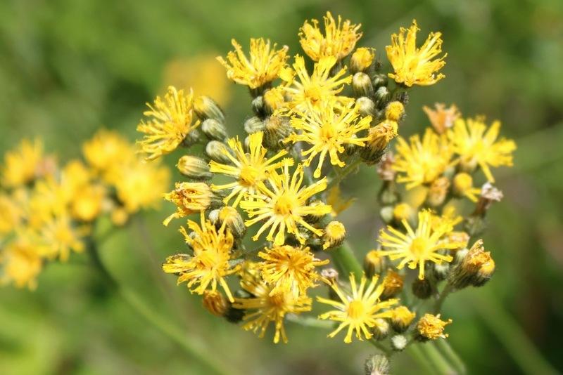 Растение Ястребинка волосистая