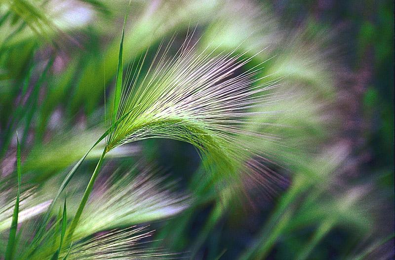 Растение Ячмень