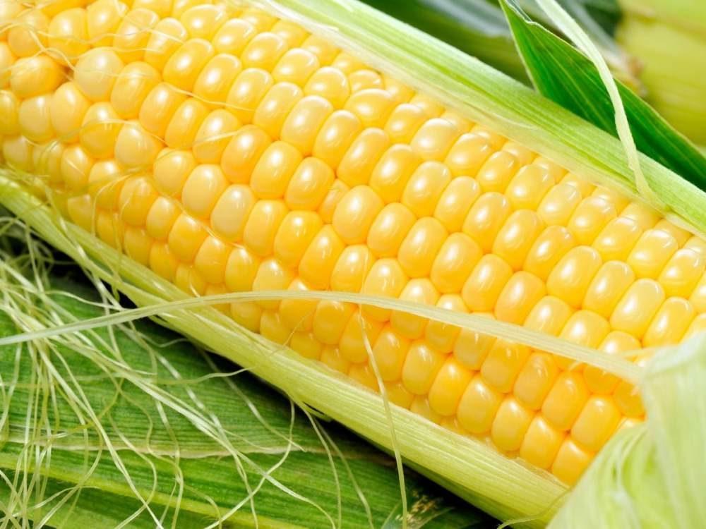 Сахарная кукуруза — одна из доходных культур