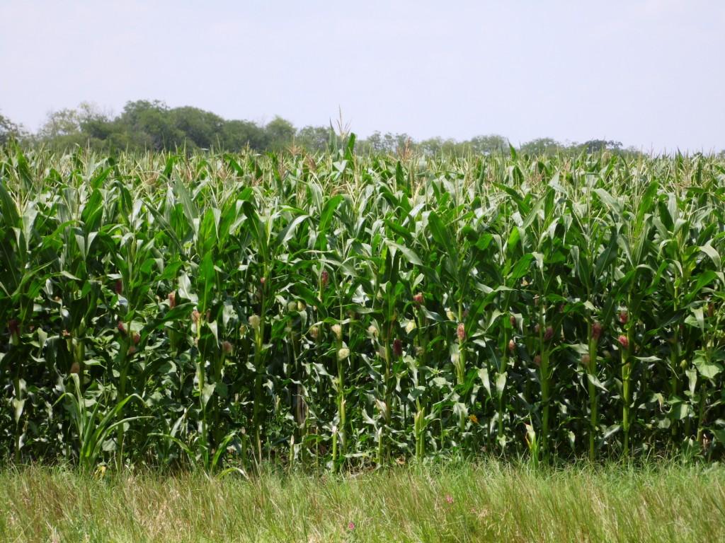 Выращивание кукурузы сахарной