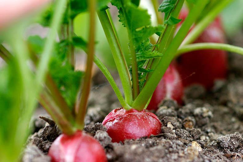 23156 Выращивание редиса