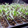 Агротехника перца