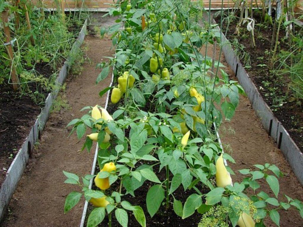 23376 Ботаническая характеристика перца
