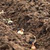 Подготовка лука к посадке фото - 8002 100x100