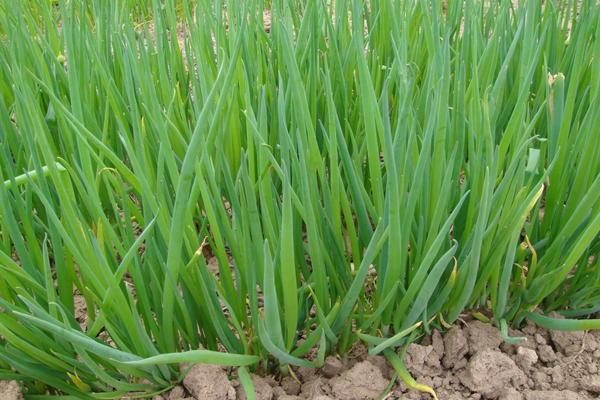 23490 Выращивание зеленого лука