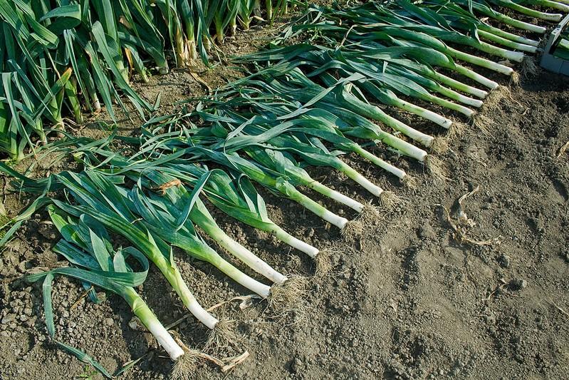Выращивание лука-порей