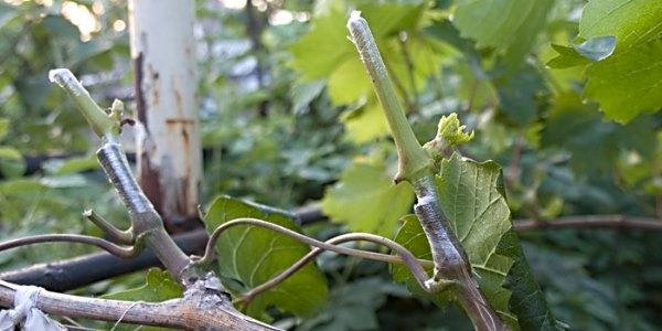 23995 Прививка винограда
