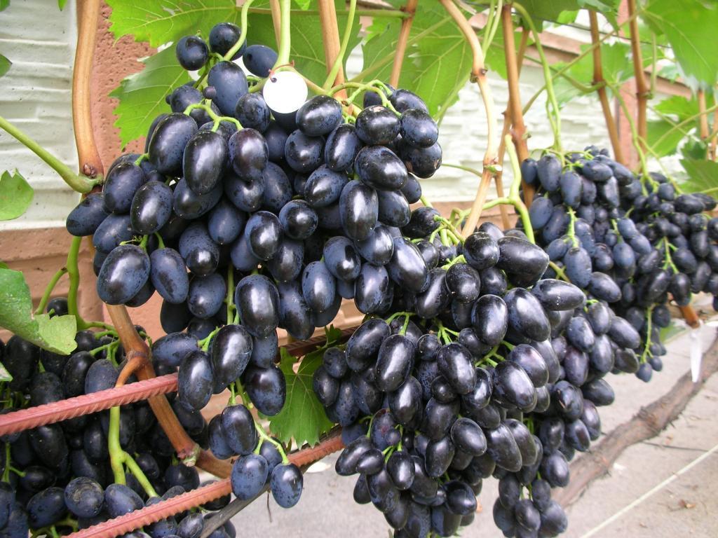 Виноград, сорт Надежда АЗОС