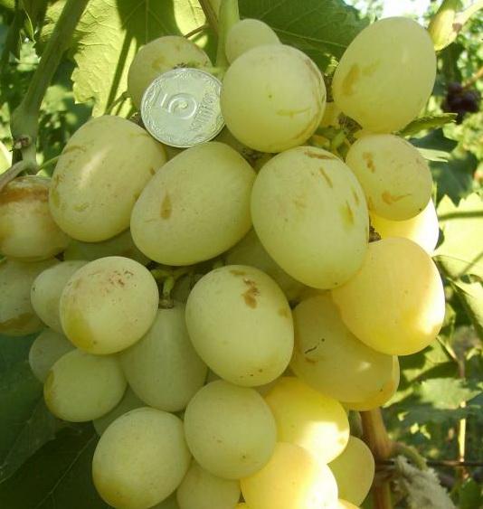 Виноград, сорт Лора