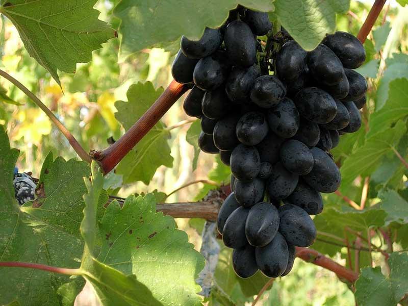 Виноград, сорт Кодрянка